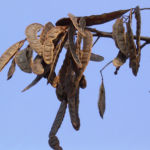 Bild:  Gewöhnliche Robinie Frucht braun Robinia pseudoacacia