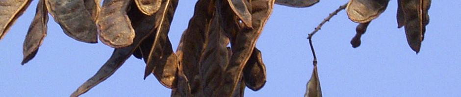 gewoehnliche-robinie-frucht-braun-robinia-pseudoacacia
