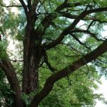 Bild: Gewöhnliche Robinie Blatt grün Robinia pseudoacacia