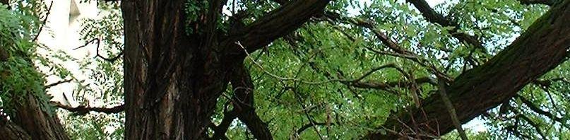 Anklicken um das ganze Bild zu sehen Gewöhnliche Robinie Blatt grün Robinia pseudoacacia