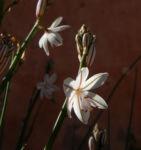 Bild: Röhriger Affodill Blüte weiß Asphodelus fistulosus