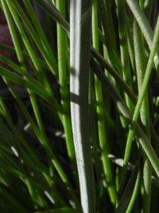 Roehriger Affodill Bluete weiss Asphodelus fistulosus10