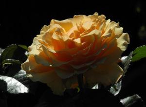 Rose Bluete orange Rosa 01