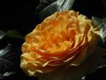 Rose Bluete orange Rosa 02