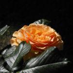 Rose Bluete orange Rosa 03