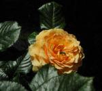 Rose Bluete orange Rosa 04