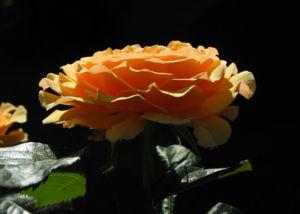 Rose Bluete orange Rosa 05