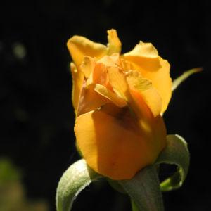 Rose Bluete orange Rosa 07