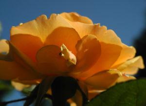 Rose Bluete orange Rosa 12