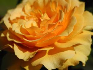 Rose Bluete orange Rosa 13