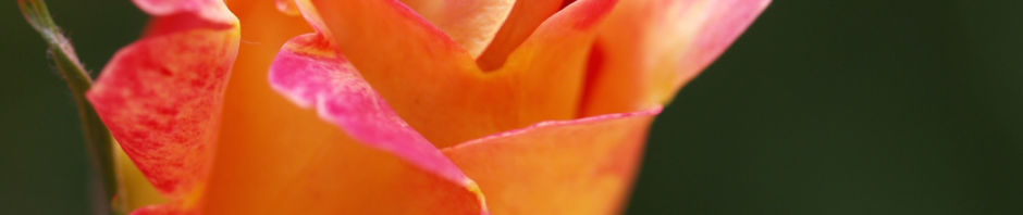 rose-bluete-rose-rosa-rosa
