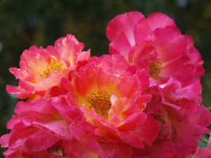 Rose Bluete rose Rosa rosa 02