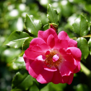 Rose Bluete rose Rosa rosa 03