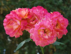 Rose Bluete rose Rosa rosa 04