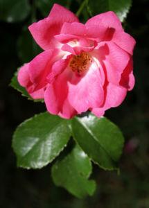 Bild: Rose Bluete rose Rosa rosa