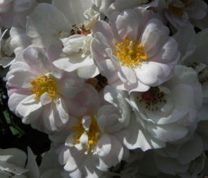 Rose Bluete weiss Rosa 02