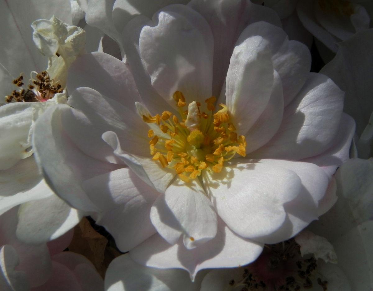 Rose Bluete weiss Rosa