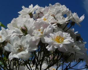 Rose Bluete weiss Rosa 08