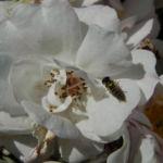 Rose Bluete weiss Rosa 09