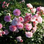 Rose Bluete Rosa 12
