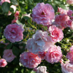 Rose Bluete Rosa 13