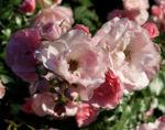 Rose Bluete Rosa 14