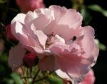 Rose Bluete Rosa 15