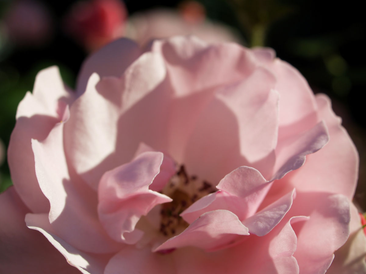 Rose Bluete Rosa