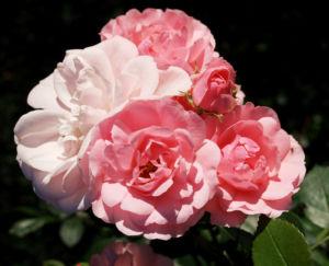 Rose Bluete Rosa 20