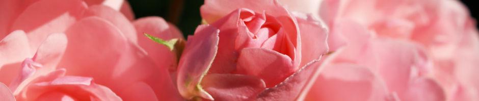 kulturrosen-rose-bluete-rosa