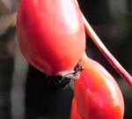 Rose Hagebutten rot Rosa 14