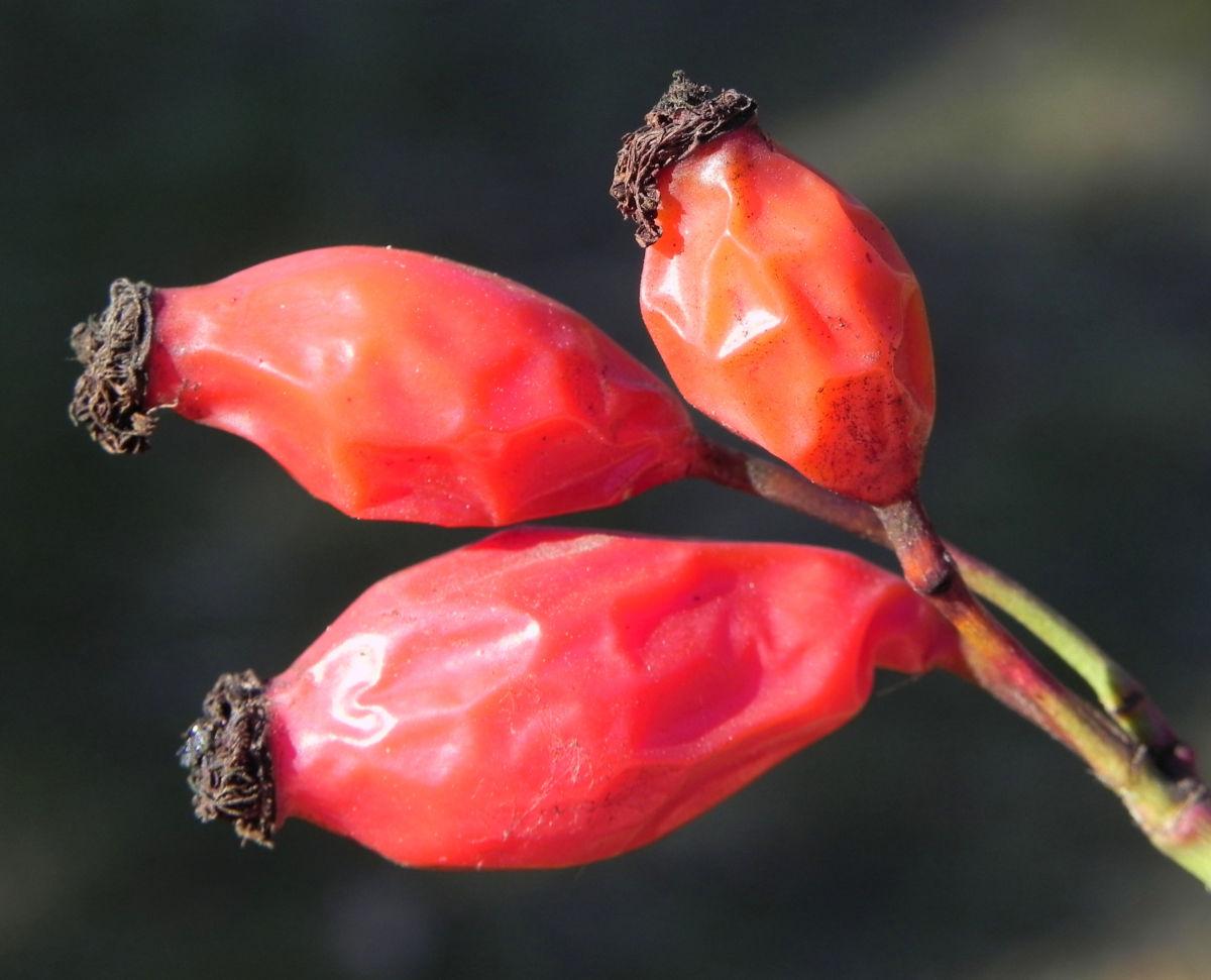 Rose Hagebutten rot Rosa
