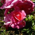 Rose pink gefuellt Bluete Rosa 02