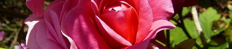 rose-pink-gefuellt-bluete-rosa