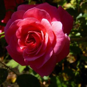 Rose pink gefuellt Bluete Rosa 03