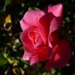 Rose pink gefuellt Bluete Rosa 05
