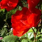 Rose rote Bluete Rosa 01