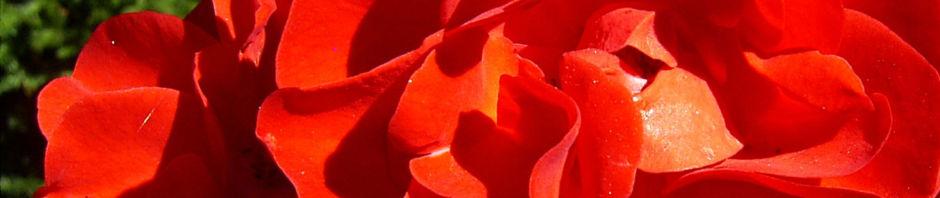 rose-bluete-rot-rosa