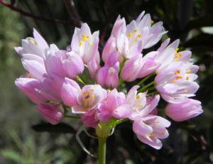 Rosen Lauch Bluete rose Allium roseum 02