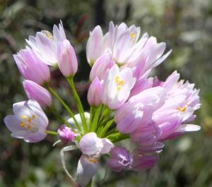 Rosen Lauch Bluete rose Allium roseum 04