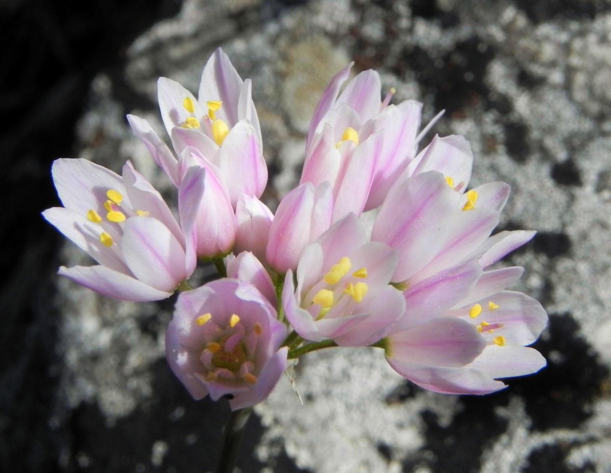 Rosen Lauch Bluete rose Allium roseum
