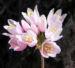Zurück zum kompletten Bilderset Rosen-Lauch Blüte rose Allium roseum