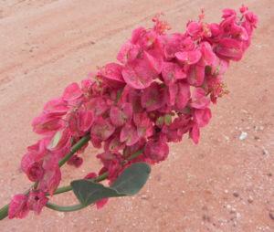 Rosenampfer Bluete rot Acetosa vesicaria 05