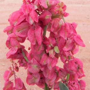 Rosenampfer Bluete rot Acetosa vesicaria 06