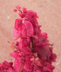 Rosenampfer Bluete rot Acetosa vesicaria 07