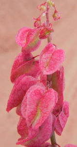 Rosenampfer Bluete rot Acetosa vesicaria 16