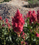 Bild: Rosenampfer Blüte rot Acetosa vesicaria
