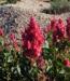 Zurück zum kompletten Bilderset Rosenampfer Blüte rot Acetosa vesicaria