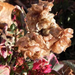 Rosenampfer Samen hell braun Acetosa vesicaria01