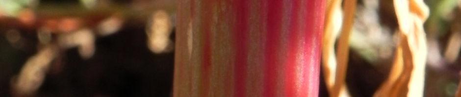 Anklicken um das ganze Bild zu sehen Rosenampfer Rosy dock Acetosa vesicaria